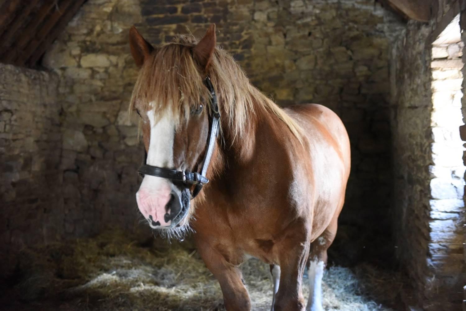 Danseur, cheval de trait Breton ©