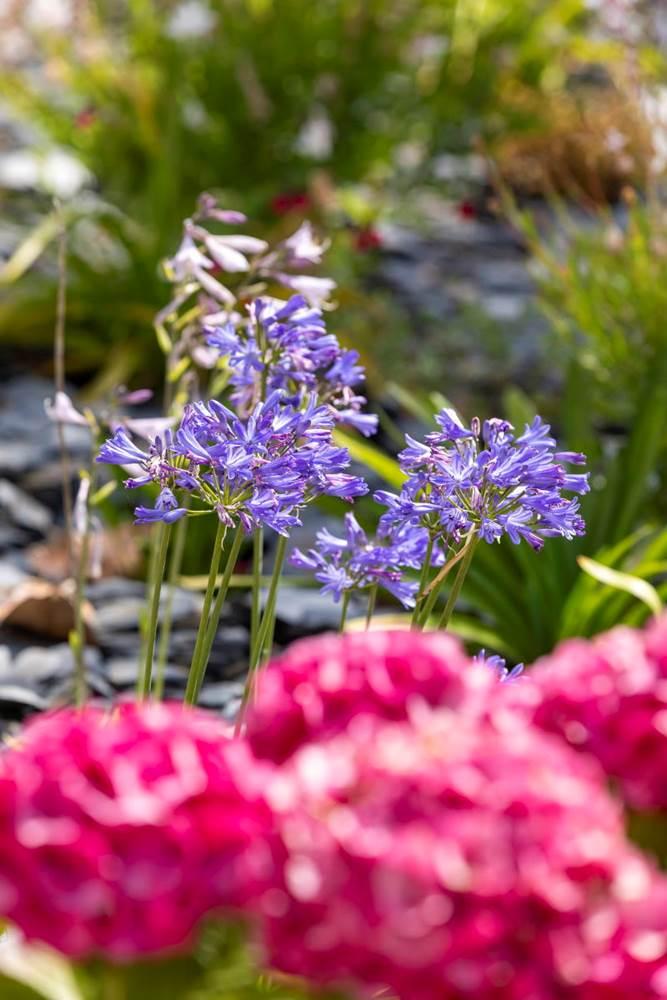 Les merveilleuses agapanthes côtoient les hortensias dans les parterres devant la chambre d'hôtes. ©