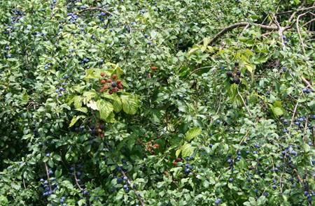 Animations plantes sauvages : lierre grimpant et ronce